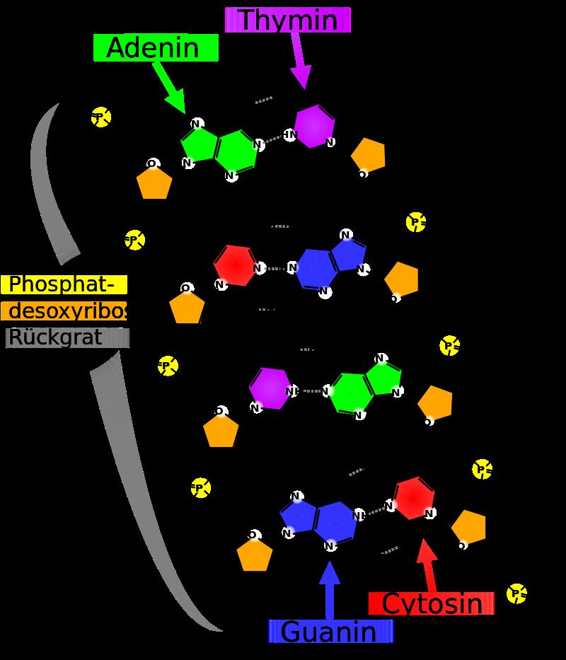 Chemische Struktur der DNA
