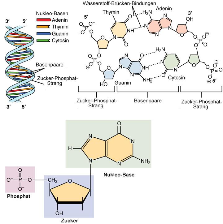 molekulare Struktur der DNA Detailansicht der Molekuele